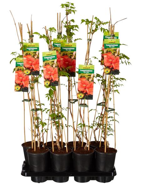 GARTENKRONE Trompetenblume, Campsis tagliabuana »Mme Galen«, orange, winterhart