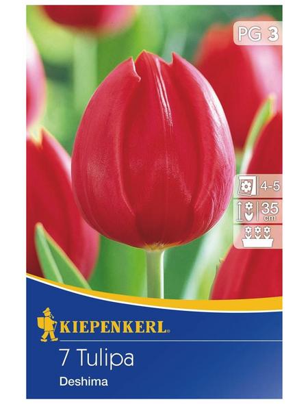 KIEPENKERL Tulpe Deshima, Rot, 7 Blumenzwiebeln