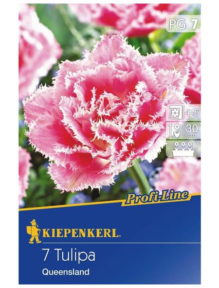 KIEPENKERL Tulpe Queensland Profi-Line, Rosa, 7 Blumenzwiebeln