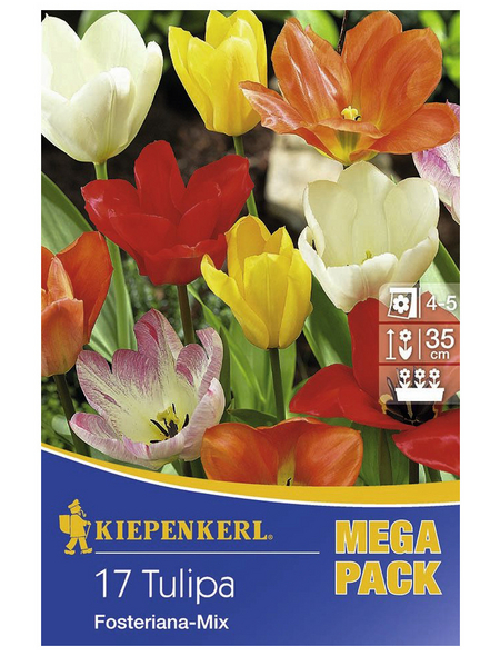 KIEPENKERL Tulpen fosteriana Tulipa
