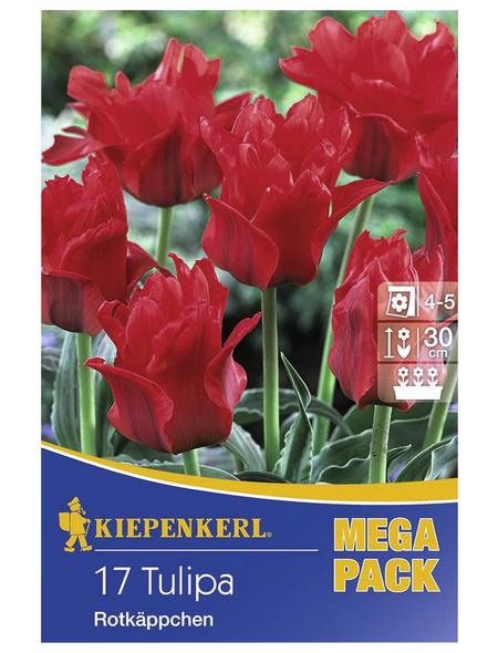 KIEPENKERL Tulpen greigii Tulipa