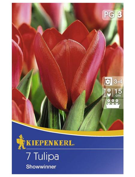 KIEPENKERL Tulpen kaufmanniana Tulipa