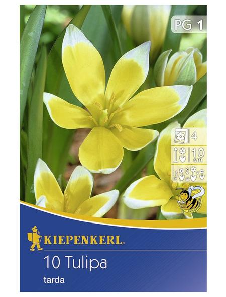 KIEPENKERL Tulpen tarda Tulipa