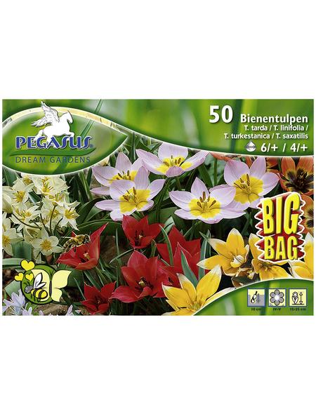 PEGASUS Tulpen Tulipa x Hybrida Tulipa x Hybrida »Tulipa x Hybrida«