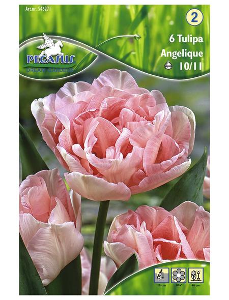 PEGASUS Tulpen x Hybrida Tulipa