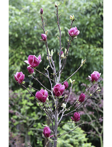 Tulpenmagnolie, Magnolia soulangiana »Genie«, Blütenfarbe violett