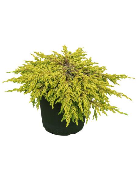Wacholder communis Juniperus »Goldschatz«
