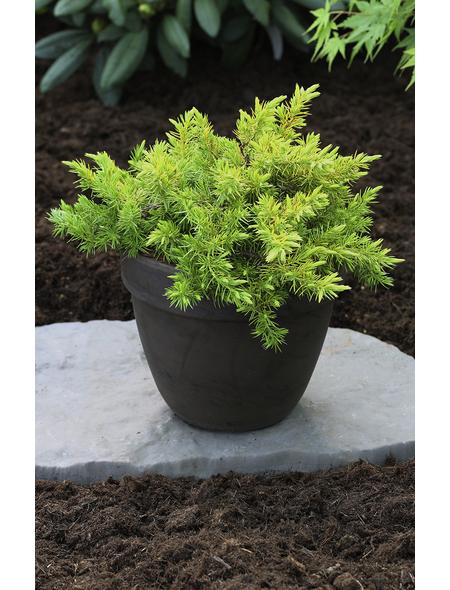Wacholder conferta Juniperus »Allgold«