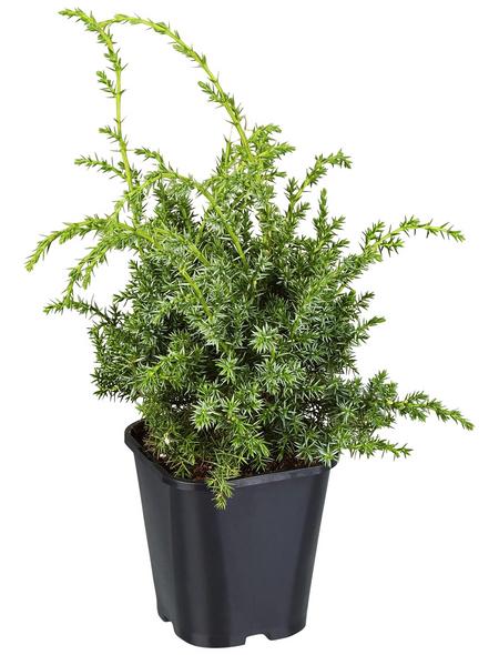 GARTENKRONE Wacholder, Juniperus chinensis »Blue Alps«, winterhart