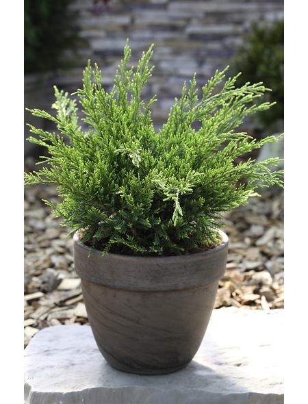 Wacholder media Juniperus »Mint Julep«