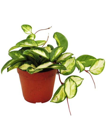 Wachsblume, carnosa Hoya »tricolor«, Topf-Ø: 12cm