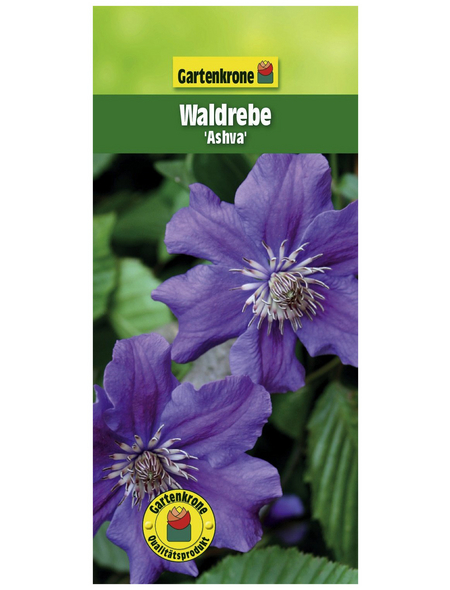 GARTENKRONE Waldrebe, Clematis  »Asvha«, Blüten: violett