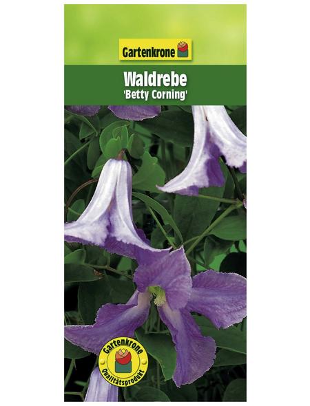 GARTENKRONE Waldrebe, Clematis  »Betty Corning«, Blüten: violett
