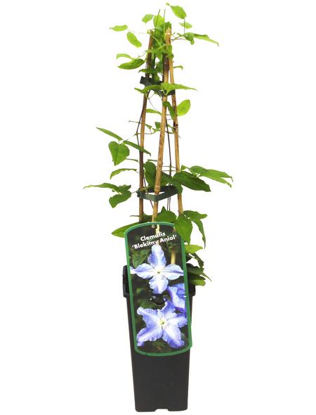 GARTENKRONE Waldrebe, Clematis  »Blekitny Aniol«, Blüten: violett