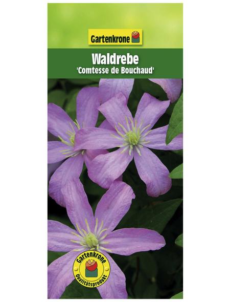 GARTENKRONE Waldrebe, Clematis »comt. De Bouchaud«, Blüten: hellrosa
