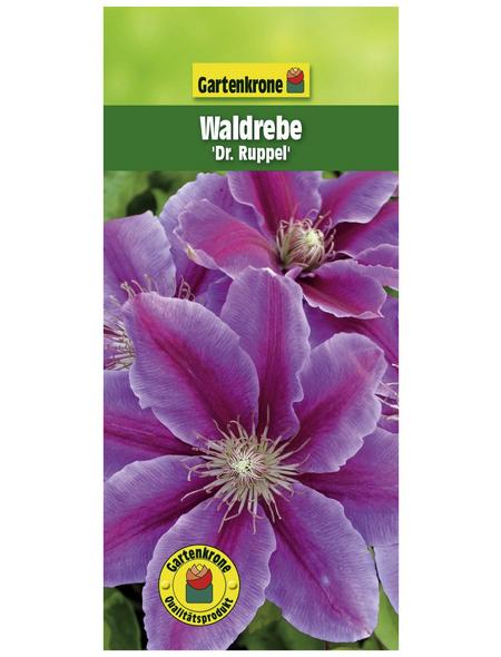 GARTENKRONE Waldrebe, Clematis »Dr. Ruppel«, zweifarbig, winterhart