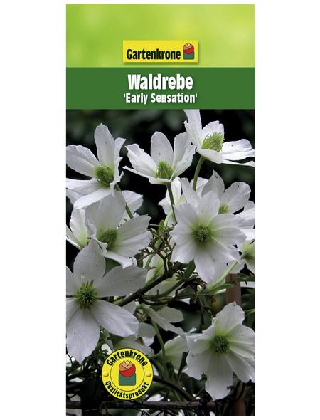 GARTENKRONE Waldrebe, Clematis »Early Sensation«, Blüten: weiß