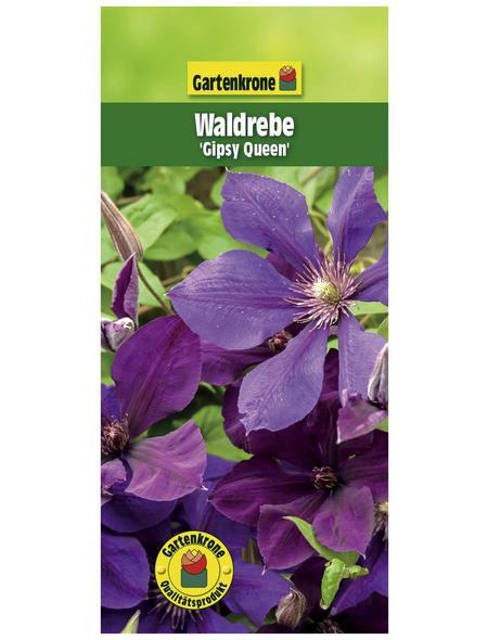 GARTENKRONE Waldrebe, Clematis »Gipsy Queen«, Blüten: violett