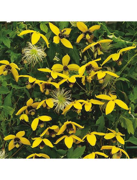 GARTENKRONE Waldrebe, Clematis  »Gold Harvest«, Blüten: gelb