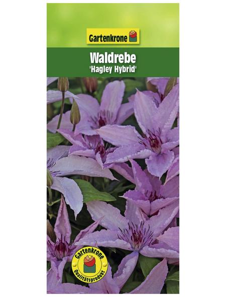 GARTENKRONE Waldrebe, Clematis »Hagley Hybrid«, rosa, winterhart