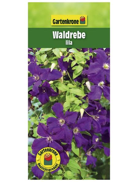 GARTENKRONE Waldrebe, Clematis »Lila«, Blüten: violett