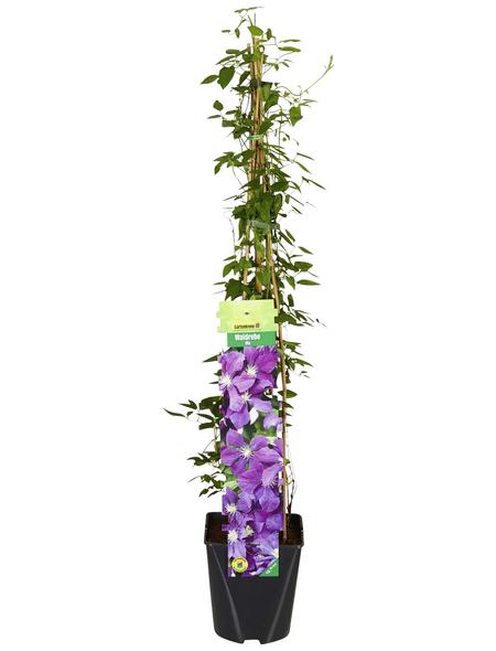 GARTENKRONE Waldrebe, Clematis »*lila*«, violett, winterhart