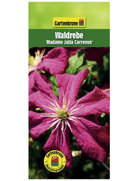 GARTENKRONE Waldrebe, Clematis »Mme. Julia Correvon«, Blüten: rot