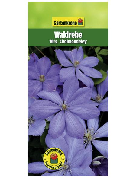 GARTENKRONE Waldrebe, Clematis »Mrs. Cholmondeley«, Blüten: hellblau