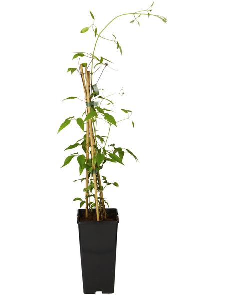 GARTENKRONE Waldrebe, Clematis »Mrs. N. Thompson«, Blüten: zweifarbig