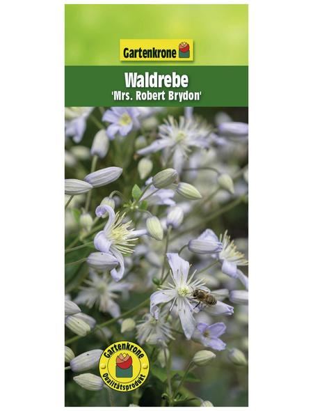 GARTENKRONE Waldrebe, Clematis »Mrs. Robert Brydon«, Blüten: hellblau