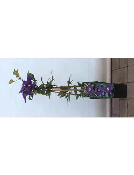 GARTENKRONE Waldrebe Clematis  »Multi Blue«