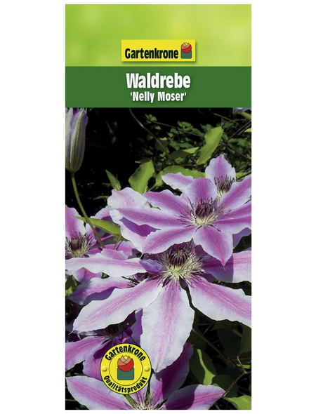 GARTENKRONE Waldrebe, Clematis »Nelly Moser«, Blüten: zweifarbig