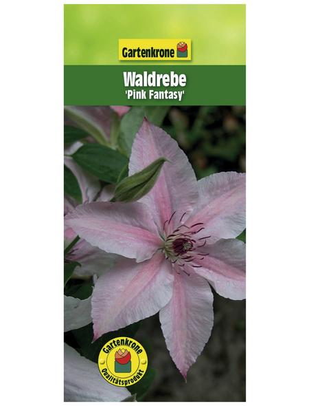 GARTENKRONE Waldrebe, Clematis  »Pink Fantasy«, Blüten: rosa/pink
