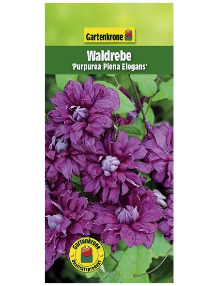 GARTENKRONE Waldrebe, Clematis »Purp. Plena Elegans«, Blüten: dunkelrosa