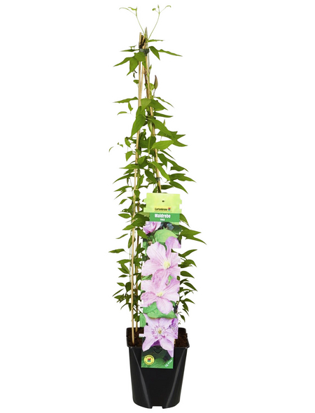 GARTENKRONE Waldrebe, Clematis »*rosa*«, rosa/pink, winterhart