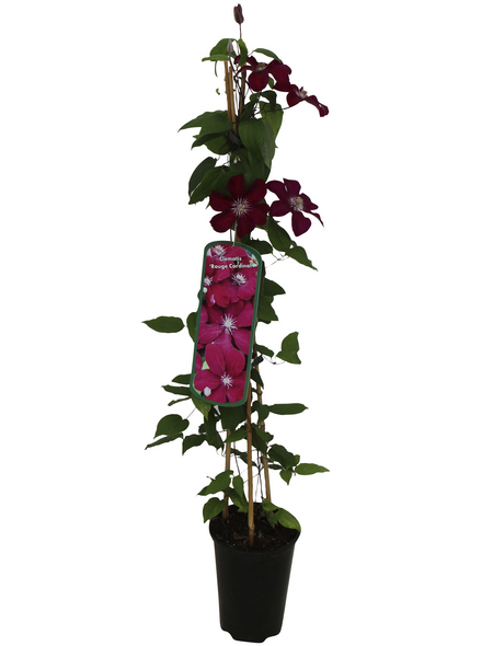 GARTENKRONE Waldrebe, Clematis »Rot«, Blüten: rot