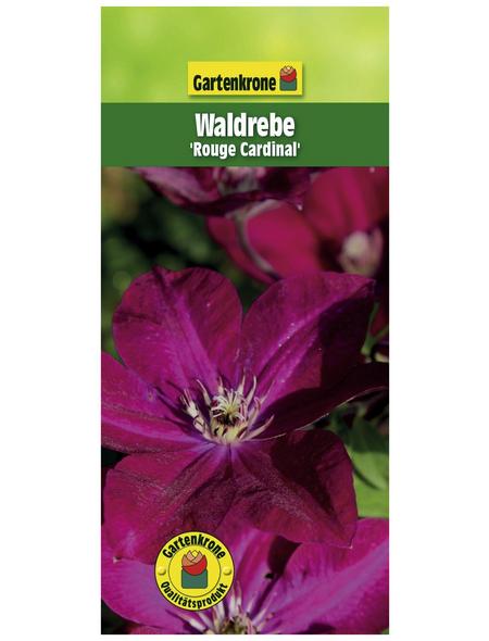 GARTENKRONE Waldrebe, Clematis »Rouge Cardinal«, rot, winterhart