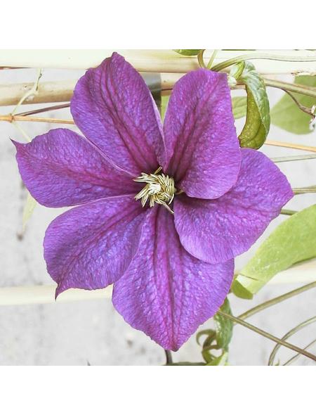 GARTENKRONE Waldrebe, Clematis  »Star Of India«, Blüten: zweifarbig