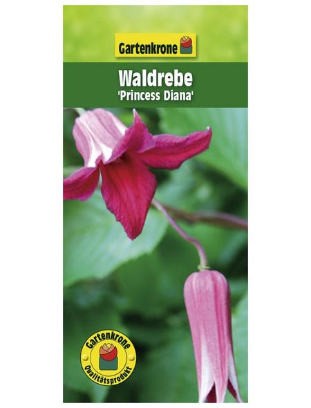 GARTENKRONE Waldrebe, Clematis texensis »Princess Diana«, Blüten: rosa/pink