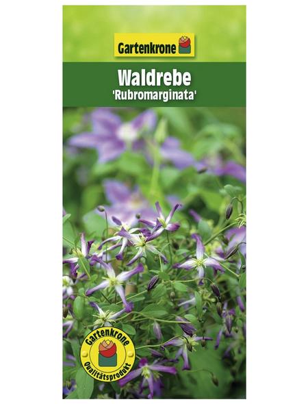 GARTENKRONE Waldrebe, Clematis triternata »Rubromarginata«, Blüten: rot