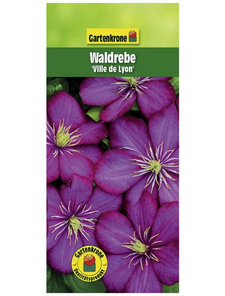 GARTENKRONE Waldrebe, Clematis »Ville de Lyon«, Blüten: rosa/pink
