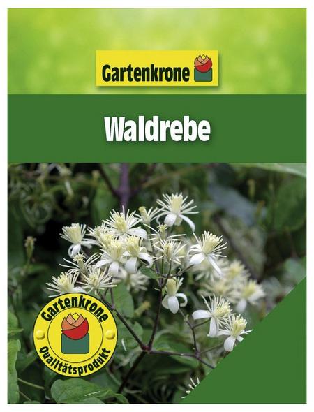 GARTENKRONE Waldrebe, Clematis vitalba, Blüten: creme