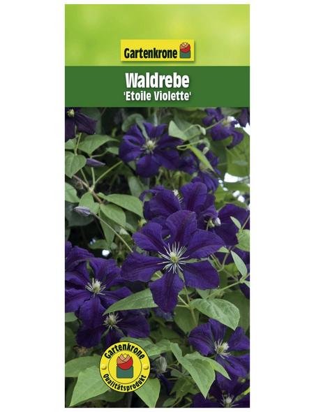 GARTENKRONE Waldrebe, Clematis viticella »Etoile Violette«, Blüten: violett