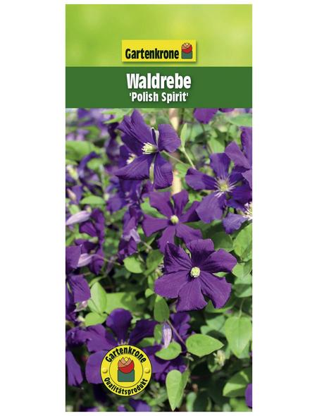 GARTENKRONE Waldrebe, Clematis viticella »Polish Spirit«, Blüten: violett