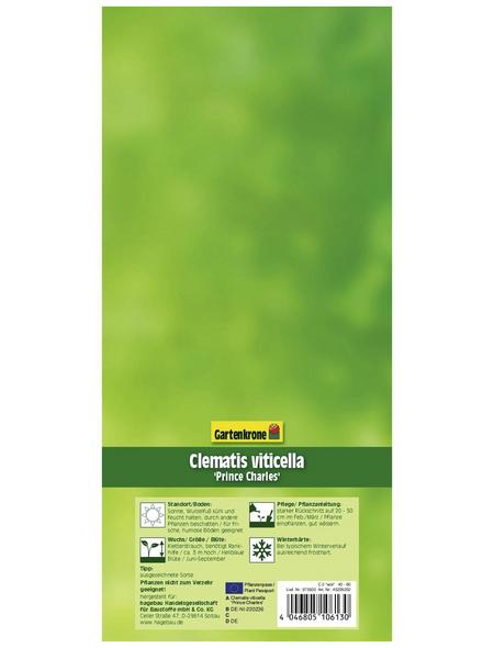 GARTENKRONE Waldrebe, Clematis viticella »Prince Charles«, Blüten: hellblau