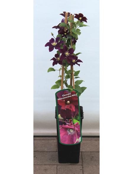 GARTENKRONE Waldrebe, Clematis  »Warzawska Nike«, Blüten: dunkelrot