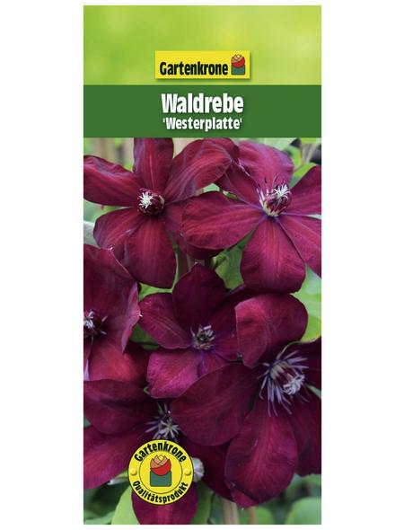 GARTENKRONE Waldrebe, Clematis »Westerplatte«, Blüten: dunkelrot
