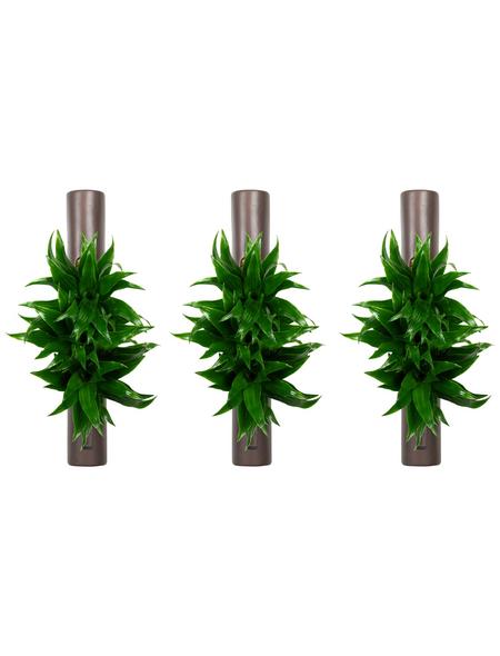 flowerbox Wandbegrünung, BxHxT: 6,5 x 40 x 6,5 cm, braun