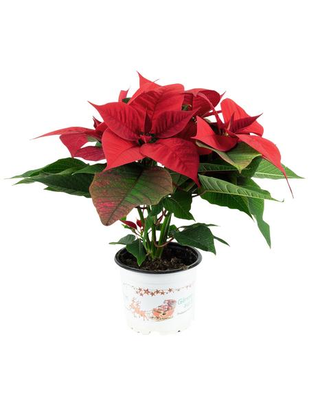 Weihnachtsstern, Euphorbia pulcherrima, Blüte: mehrfarbig