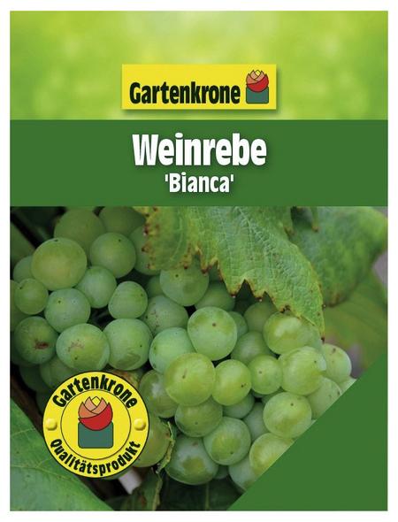 GARTENKRONE Weinrebe, Vitis vinifera »Bianca« Blüten: creme, Früchte: grün, essbar